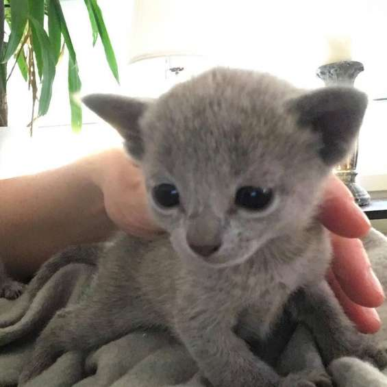 Russian blue cat,russian blue,blue cat,russian blue kittens,russian blue kittens for sale
