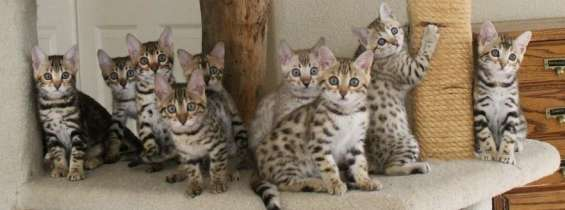 Exotic kittens for sale