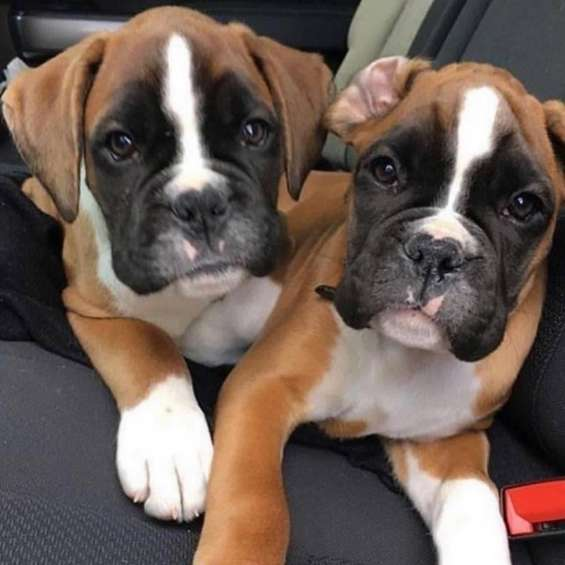 if you would like more information. or would like to arrange a viewing. they are friendly with kids and other pets, potty trained, vet checked and will be coming alongside all their papers. contact us via https://bakerboxerpuppies.com or (757) 794-4619 fo