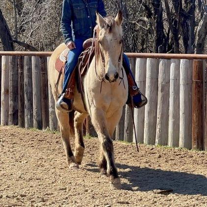Beautiful buckskin gelding horse for sale!