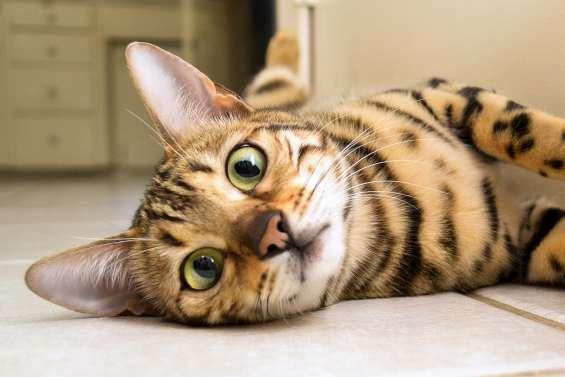 Bengal kitten for sale,savannah kitten for sale,serval kitten for sale